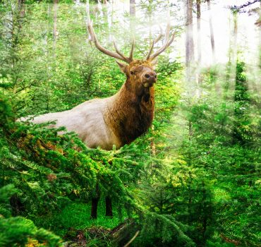 Stunning Male Bull Elk In Deep Wood Forest With Sun Rays In Mountain National Park
